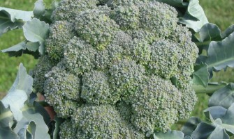 Brokoli Nasıl Yetiştirilir Kaç Dereceye Kadar Dayanır