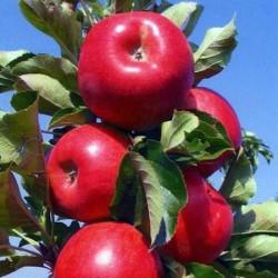Amasya Elma Fidanı (Açık kök)Amasya Elma Fidanı (Açık kök)