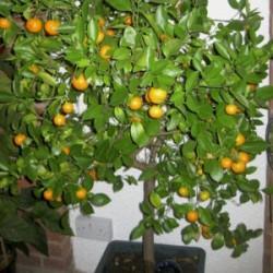 Calamondin Orange Süs Mandalinası