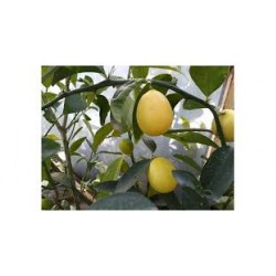 Süs Limonu Üzeri Meyveli Saksılı 50-100 cm