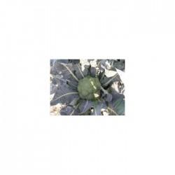 Parthenon F1 Brokoli Fidesi