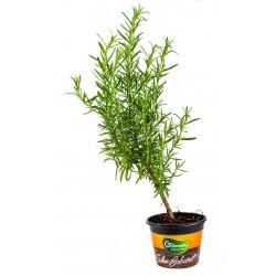 Saksı Biberiye (Rosemary)