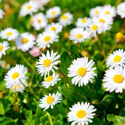 Chrysanthemum Paludosum-Snowland Papatya F1 1000 adet