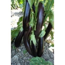 Standart Aydın Siyahı Patlıcan Fidesi