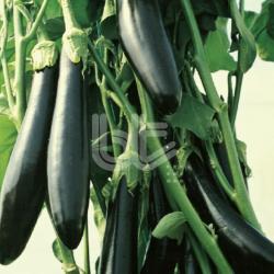 Aykara F1 Patlıcan Fidesi
