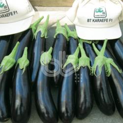 Karaefe F1 Patlıcan Fidesi