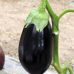 Tasca F1 Patlıcan Fidesi