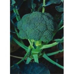 İronman F1 Brokoli Fidesi