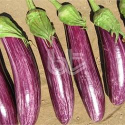 Manisa Çizgili F1 Patlıcan Fidesi