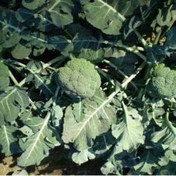 Samson F1 Brokoli Fidesi