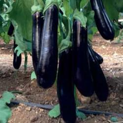 Altındağ F1 Silindirik Patlıcan Tohumu