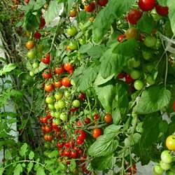 Nectar F1 Cherry Domates Tohumu